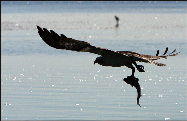 b013_osprey-with-catch,-Florida-Keys