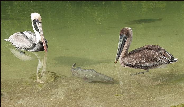 b022_pelicans-and-snook,-Florida-Keys
